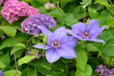 Bloeiende clematis en hortensia